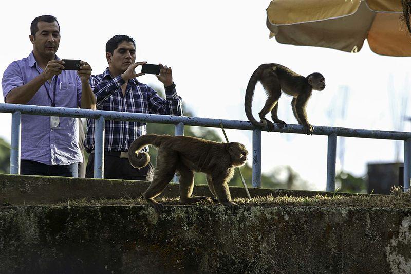 Monos de Misahuallí
